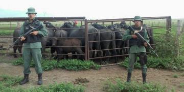 GNB recuperó 11 búfalas y 4 becerros en Monagas