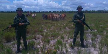 GNB recupera 39 reses hurtadas en el estado Monagas